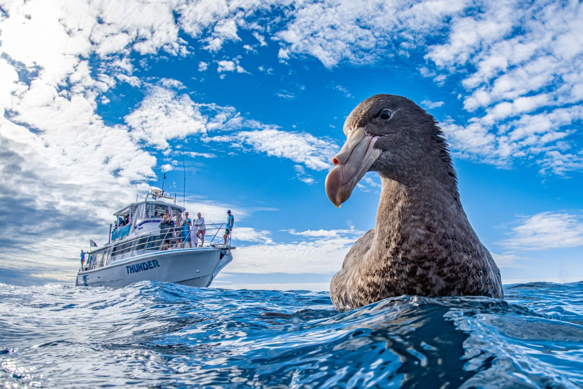 Silver - People and Nature. 'We're Gonna Need a Bigger Boat'. Northern giant petrel. Ningaloo Reef, Australia