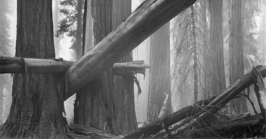 Fallen Sequoias: The Story Behind This Photo Taken in 1977