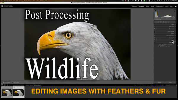 How to Edit Wildlife Photos with Feathers & Fur (VIDEO)