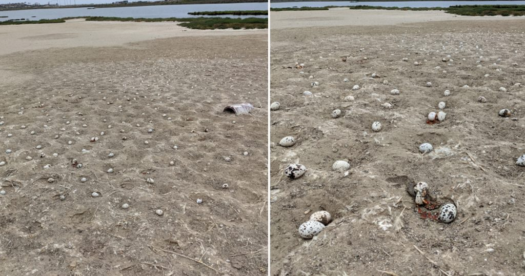 Reckless Drone Pilots Cause the Destruction of Thousands of Bird Eggs