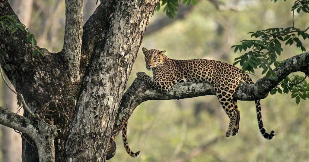 Can You Spot the Leopard Cub in This Photo?