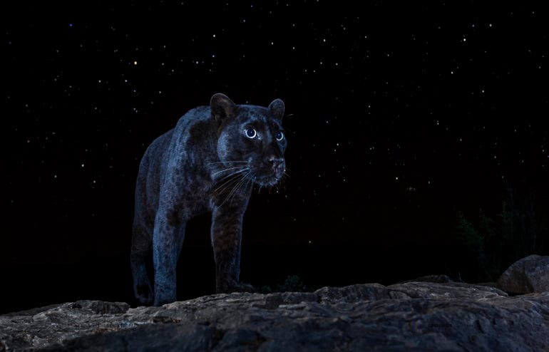 Will Burrard-Lucas Went on a Quest to Find a Rare Black Leopard in Africa