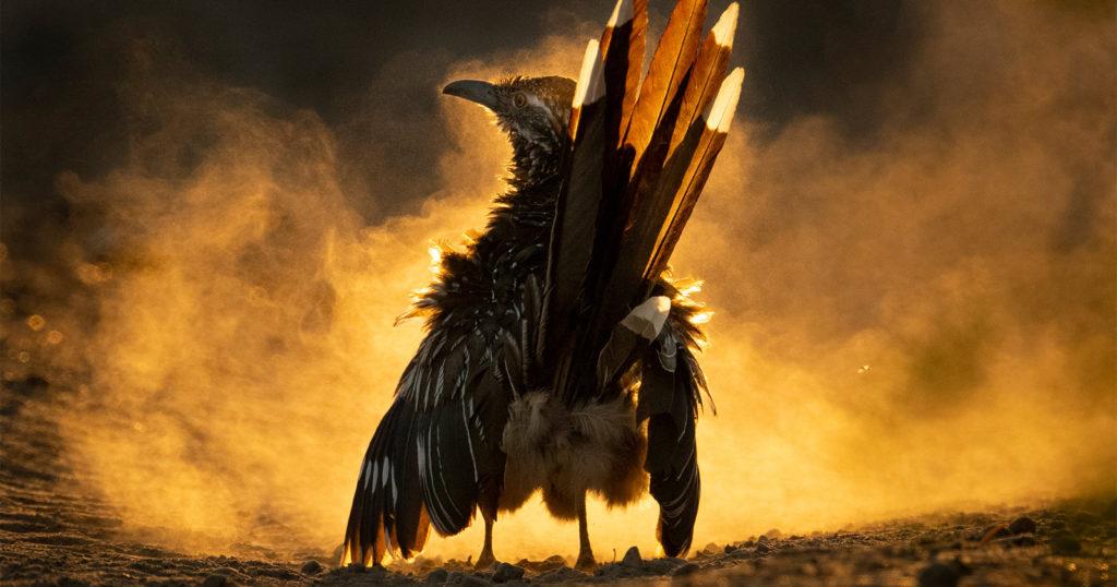 Dusty Roadrunner Photo Wins the 2021 Audubon Photography Awards