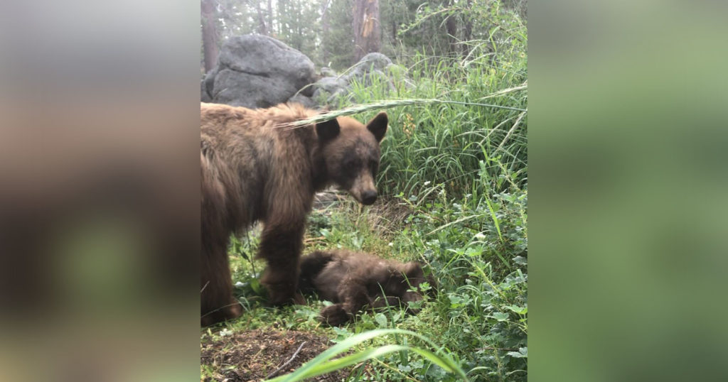 Photo Shows Mama Bear Mourning Cub Killed by Driver in Yosemite