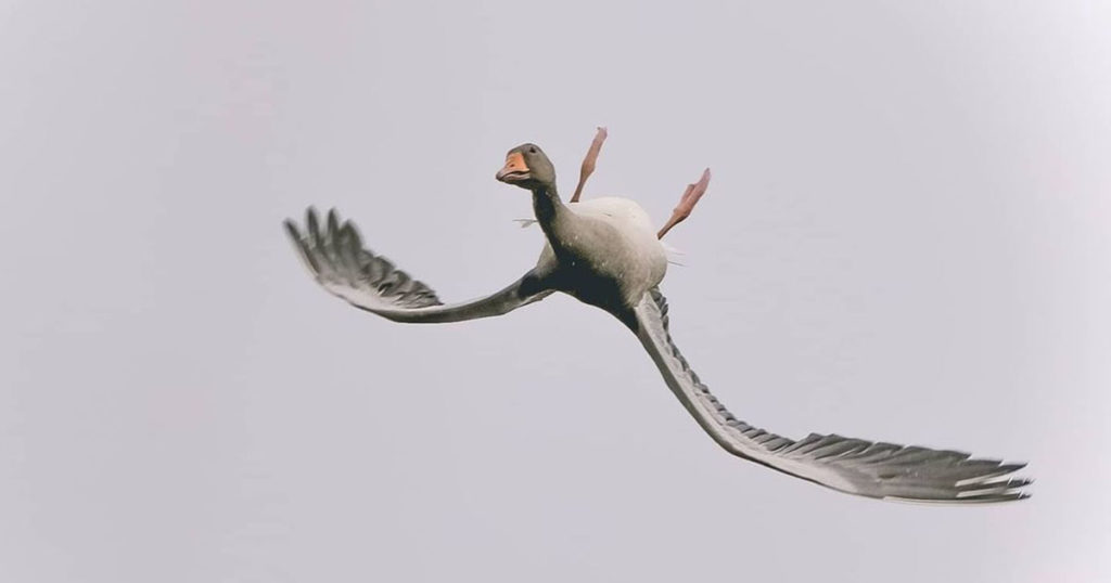 Photographer Catches Goose Flying Upside Down